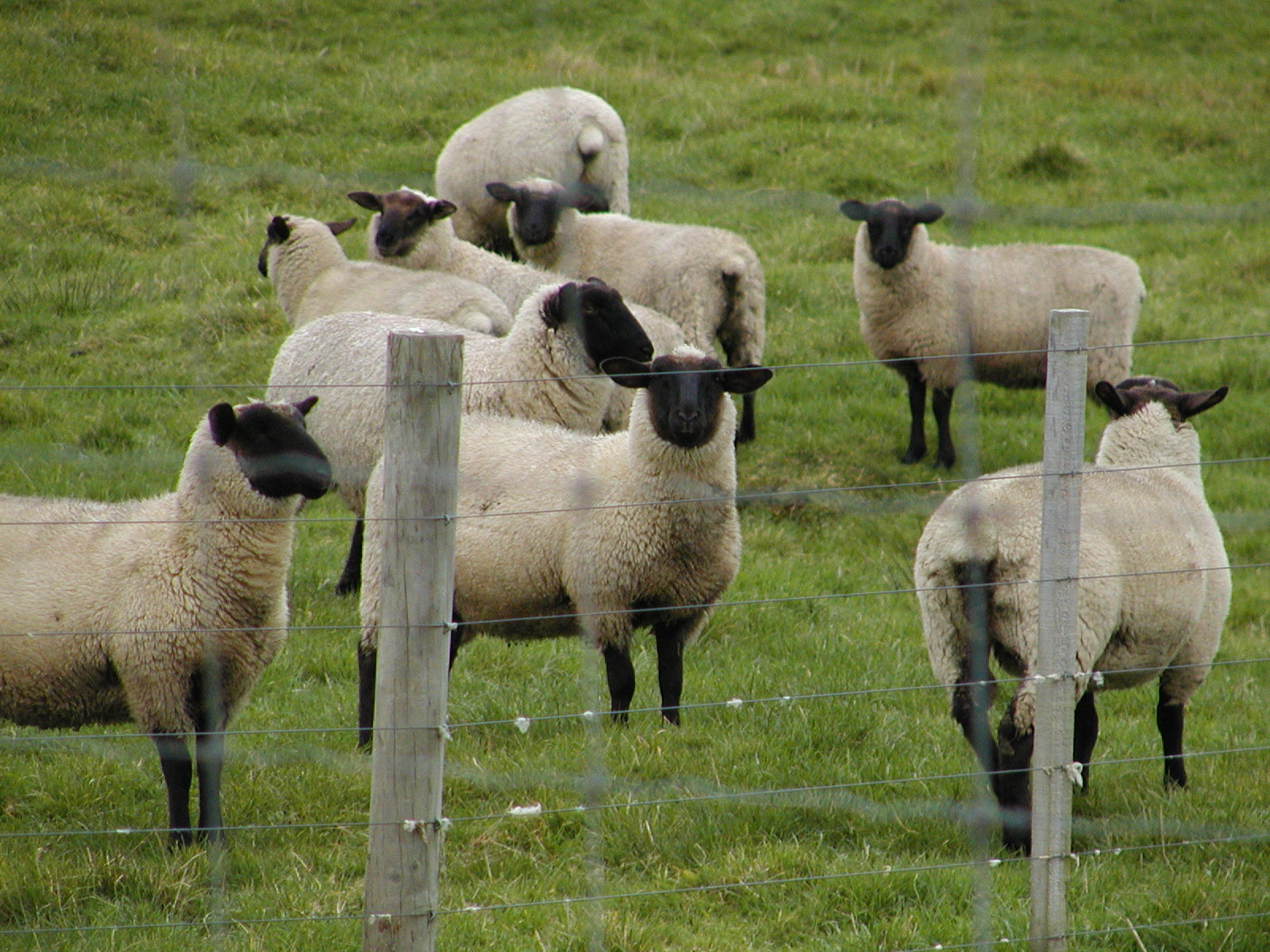 sheep Why not? We live in sheep country. We have a Great Shepherd that takes ...